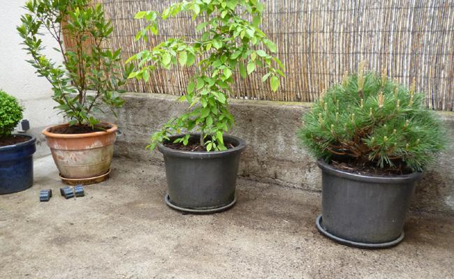 brise-vue végétal